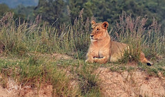 Lioness on the Hill (Jeff Clow) Tags: 2018 jeffclowphototours jeffrclow southafrica welgevonden animalbehavior animalthemes holiday nature travel vacation wildanimals wildlife