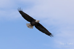 Female Bald Eagle stretches her wings - 5 of 30