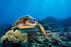 turtle3Mar27-18 (divindk) Tags: cheloniamydas hawaii hawaiianislands honoluabay maui scientificname underwater diverdoug endangeredspecies greenseaturtle marine ocean reef sea seaturtle turtle underwaterphotography