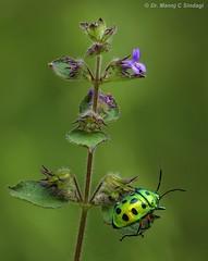 Indian Green Jewel bug. (MCSindagi) Tags: sony sonyrx10 sonycybershot sonyrx10iv sonyrx10m4 bangalore karnataka india indiangreenjewelbug telemacro macro closeups jewelbug insects