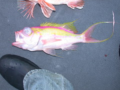 Swallowtail Bass (Anthias woodsi) (jd.willson) Tags: jd willson jdwillson nature wildlife fish fishing saltwater salt water deep sea drop virginia gulf stream swallowtail bass anthias woodsi