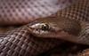 Curl Snake (Suta suta) (elliotbudd) Tags: curl snake suta myall denisonia elapid elapidae charters towers region townsville qld queensland elliot budd