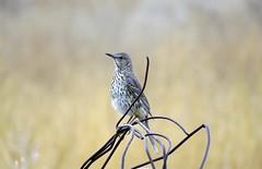 Sage Thrasher (Patricia Henschen) Tags: sagethrasher alamosa colorado backroads rural countryside bird songbird sage thrasher