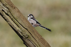 IMGP0329a Long-tailed Tit, RSPB Sandy, March 2018 (bobchappell55) Tags: sandy rspb wild bird nature wildlife longtailedtit aegithaloscaudatus