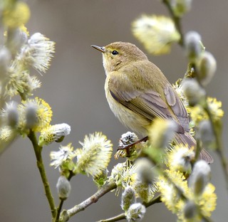Chiffchaff  in the Spring buds
