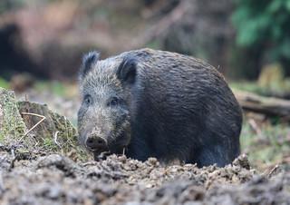 Wild Boar Sow Sus scrofa 026-1