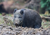 Wild Boar Sow Sus scrofa 026-1 (cwoodend..........Thanks) Tags: forest forestofdean gloucestershire gloucestershirewildlife wildlife wildboar susscrofa boar sow