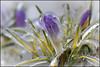 Crocus Encased in Ice (Dan Dewan) Tags: 2018 kanata canonmacroef100mmf28 ottawa crocus ice flower monday ontario canada canon dandewan colour april
