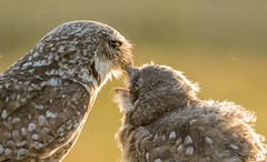 feeding junior (marianna_a.) Tags: p2090384 burrowing owl owlet chick vista park florida bird family bokeh hbw marianna armata