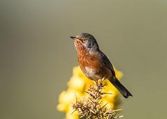 Dartford Warbler ( Sylvia undata ) Male (Dale Ayres) Tags: dartford warbler syvia undata bird nature wildlife