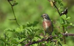 Linotte mélodieuse (guiguid45) Tags: nature sauvage oiseaux bird passereaux vignes loiret d810 500mmf4 nikon linottemélodieuse passériformes fringillidés linariacannabina commonlinnet affût