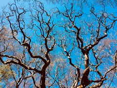 """Through the treetops. (Bennydorm) Tags: abril aprile avril countryside inghilterra inglaterra angleterre europe uk gb britain england cumbria furness ulverston bardsea blue iphone5s """"bluesky"""" sky upwards branches woodland rural nature april spring treetops trees"""