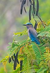 Indian Roller (mishko2007) Tags: coraciasbenghalensis kaengkrachan thailand 150500mm