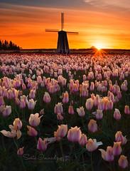 Sunrise at Tulip Field. (Woodburn, OR) (Sveta Imnadze) Tags: sunrise landscape flowers tulips woodburntulipfarm oregon woodentulipfestival