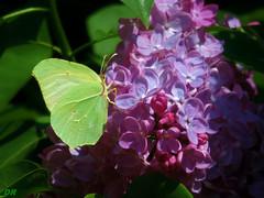 lilas fleur - citron papillon (danie _m_) Tags: naturepic butterfly pollinator insect flowerpower lovenature flowers macro beautiful wildlife nature papillon fleur animal couleurs