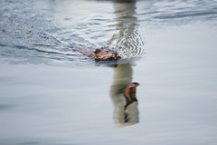 Beaver VS Swan (brendon_curtis) Tags: canon eos 1dx 1dxii 500mm f4l is usm super telephoto nature natural animal animals water pond framingham massachusetts urban