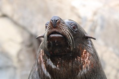 North American Fur Seal (charliejb) Tags: northamericanfurseal furseal seal mammal 2018 fur bristolzoo bristol zoo whiskers nose mouth eyes wildlife