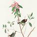 Ruby crowned Wren from Birds of America (1827) by John James Audubon (1785 - 1851),