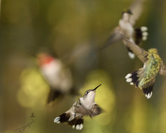 Heading for the exits 4-28-18_128 (pmsswim) Tags: rubythroatedhummingbird archilochuscolubris colibri hummingbird inthegarden spring april 2018