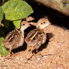 Baby Quail !!! (cathywasson) Tags: babies baby quail cute little tiny fast quick az arizona southern