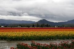 _MG_5650 (condor avenue) Tags: tulipfestival skagitvalley washington flowers colorspam skagitcounty tulipfields hyacinths daffodils spring