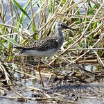 Story County, Iowa, Lesser Yellowlegs, Tringa flavipes thumbnail