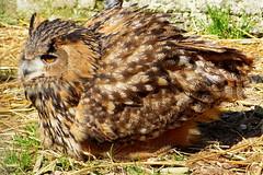 Uhu - Eagle Owl (ivlys) Tags: schwarzwald blackforest schlüchttal museumsmühle museummill eule uhu bubobubo tier animal vogel bird natur nature ivlys