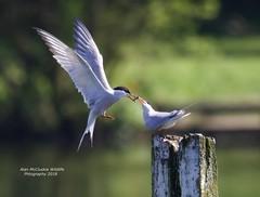 Sharing. (Alan McCluskie) Tags: commontern sternahirundo terns birdinflight birdsfeeding seaswallow gulls seabirds lake nature wildlife springwatch aves avian oiseaux canon7dmk2 sigma150600mmsp