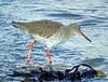 Redshank (stuartcroy) Tags: orkney island redshank beautiful bird beach scotland shore water sea