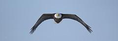 Face à face (alainmaire71) Tags: bird accipitridae haliaeetusleucocephalus pygargueàtêteblanche baldeagle nature quebec canada