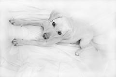 Rebecca (MelodyAnna) Tags: ritratto cani animali labrador dogportrait beautifuldog