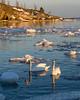 First swan sighting of the year (akiro) Tags: uunisaari winter helsinki sea ice