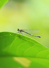 Fave picture 💚 (ibtihajtafheem) Tags: dragonfly dragonflies insect insects macro macrophotography macroworld closeup greenlife naturelover naturephotography natureporn nature photography