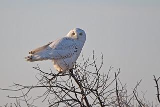 Sunrise Snowy owl