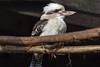 IMG_5831 Kookaburra (Beth Hartle Photographs2013) Tags: hamertonzoo zoo wildlife animals cambridgeshire birds kookaburra terrestrialtreekingfishers australia newguinea