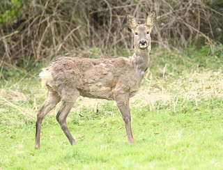 Roe Doe - Here's looking at you deer!