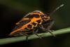 Horehound bug (zosterops) Tags: pentatomidae agonoscelisrutila australia tasmania hobart canoneos6d canonmacrolensmpe65 macro insecta hemiptera