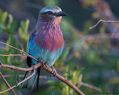 Lilac-breasted Roller (leendert3) Tags: leonmolenaar wildlife southafrica krugernationalpark birds lilacbreastedroller