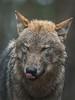 bad weather (Martin.Merz) Tags: wolf niedersachsen wildpark lüneburger heide wolve hamburg deutschland schleswig holstein bremen mecklenburg vorpommern