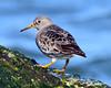 DSC_3498=3PSandpiper (laurie.mccarty) Tags: purplesandpiper sandpiper bird bokeh animal avian nature wildlife rock outdoor macro nikon