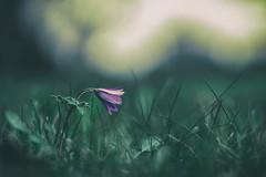 a n e m o n a (_andrea-) Tags: frühling spring frühlingsblumen anemonen anemos wind sonya7m2 planart1450 carlzeiss objektiv mount lowpov love wiese bokeh bokehjunkie bokehshots bokehs outdoor flowers andrea images springflowers