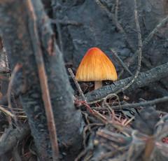 Glowing Fungus. (Omygodtom) Tags: mushroom fungus outside natural d7100 nikon70300mmvrlens strange odd dof perspective woods