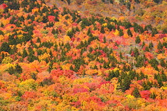 Explosion of color on Grandfather Mountain (MarcusDC) Tags: fall autumn foliage leaves grandfathermountain northcarolina