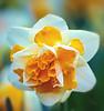 Spring Flowers (Vanessa wuz here) Tags: 90mm macro macroflowers spring dafodil muttartconservatory edmonton yellow white botanicalgarden devilinthedetails copyrightvanessabartosek smileonsaturday sos