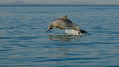 Masirah Island Dolphin - National Dolphin Day 14 April 2018 - Wildlife Oman (Dunstan Fernando) Tags: action sea sealife dunstan dunstanphotography d7000 display wildlife nature wildlifeoman oman omanwildlife dolphinjumping dolphinsoman dolphin dolfijn dolfijnen masirahisland masirah masirahislandoman masirahislandwildlife masirahdolphin nikon nikkor ocean outdoor oceanlife worlddolphinday nationaldolphinday2018 water