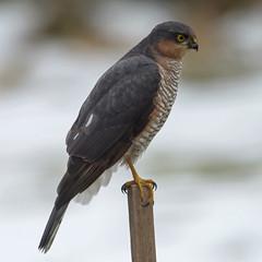 Eurasian sparrowhawk Latin: Accipiter nisus 180323 (hkkbs) Tags:
