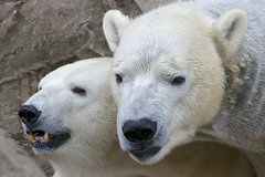 It's been a while (ucumari photography) Tags: ucumariphotography polarbear ursusmaritimus oso bear animal mammal nc north carolina zoo osopolar ourspolaire oursblanc eisbär ísbjörn orsopolare полярныймедведь anana nikita january 2018 dsc7871 specanimal