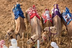 Dubai Camel Race April 2018 (DavidGabis) Tags: track festival sand east fast running day speed destination uae domesticated entertainment attraction pet jockey middleeast riding meeting robot challenge tradition emirati arabian desert emirates practice dubai race camels outdoor traditional sporting competition united culture sport training event marmoom arabia run racetrack gulf dromedary heritage animals arabic tourism arab racing