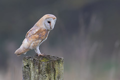 Barn owl (cliveyjones) Tags: barnowl owl