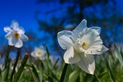 Weiße Osterglocke (Narcissus pseudonarcissus) (Wolfgang's digital photography) Tags: narzisse osterglocke pflanze natur wildblume weis wiese nikond5300